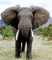 Молоко слонихи - сила!