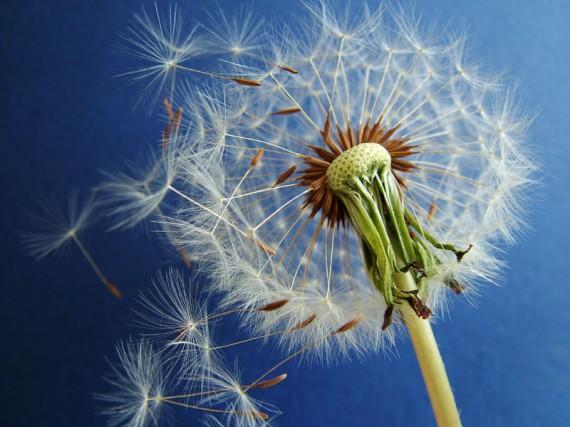 http://meditation-portal.com/wp-content/uploads/2013/06/74852596_large_Dandelion-e1370255499823.jpg
